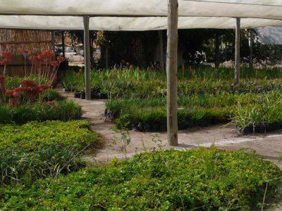 Kukula-plants